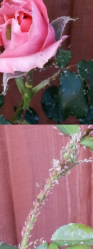 Need help with removing Rose plant pests
