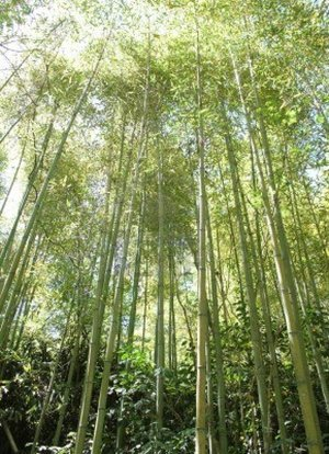 Bamboos are versatile resources that can help us tackle and live with climate change