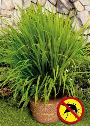 Mosquito grass (Lemon Grass) repels mosquitoes | fabuloushomeblog.com