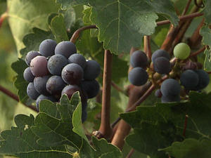 Vineyards in China? Climate change morphs the wine industry