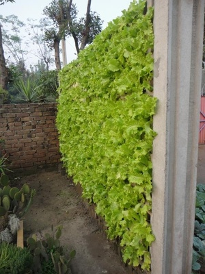 Lettuce Living Wall | Kitchen Gardeners International