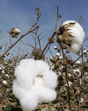 Cotton May be Eco-Friendly Way to Clean Oil Spills via voanews