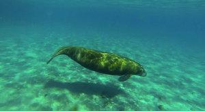 Algae Bloom in Florida Kills Record Number of Manatees via NYTimes