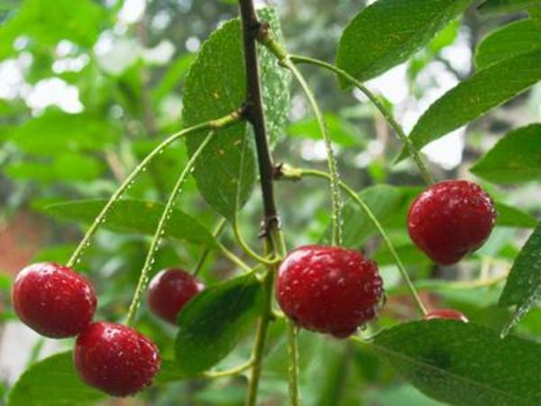 Organic pesticides for fruit trees