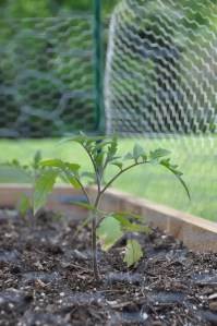 Tomato rising