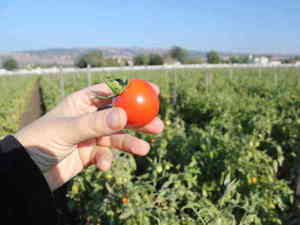 To Grow Sweeter Produce, California Farmers Turn Off The Water Via @nprnews
