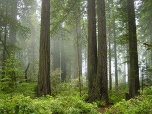 Redwood trees reveal history of West Coast rain, fog, ocean conditions #climatechange