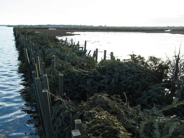 Recycled Christmas trees: mulch, dunes, habitats