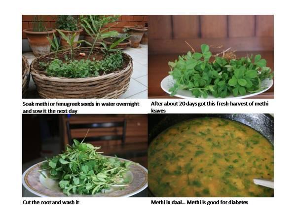 Fenugreek or Methi in your garden