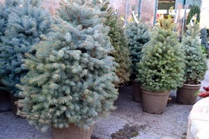 Rent a Christmas tree - making Christmas greener