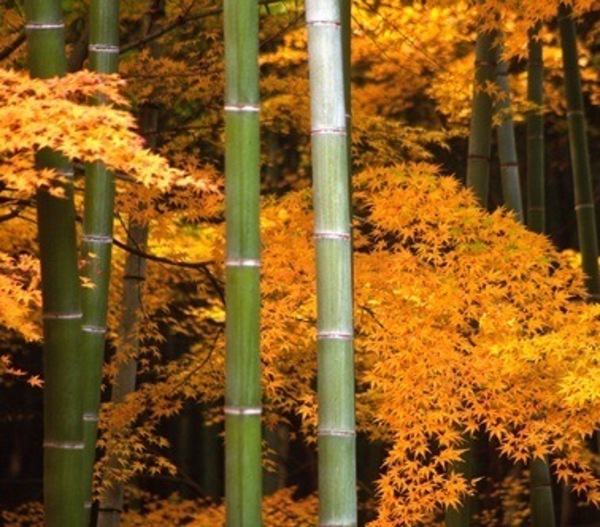 @greenopedia demystifies why is bamboo sustainable.  Or is it?