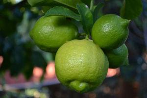 Organically tended lemons