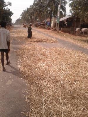 Zero Energy Millet Harvesting!