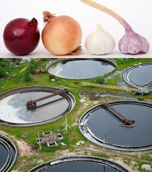 Wastewater treatment through biosorption of heavy metals using onion & garlic wastes