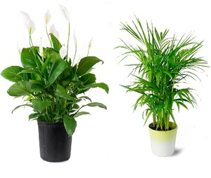 10 Houseplants that Purify Indoor Air