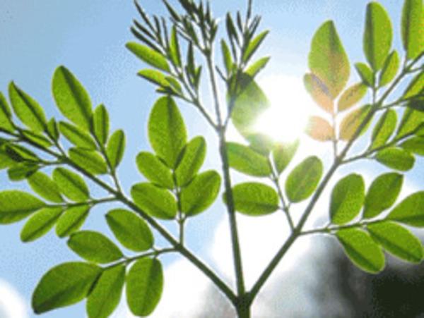 Moringa – The Tree of Life