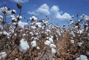 Cotton - the stuff of life! @_thealternative