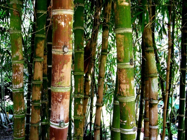 How much do you know about Bamboo? @_thealternative